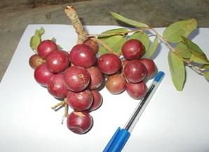 Etude sur les fruits matures