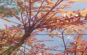 Etude sur  les jeunes feuilles de H. Barteri