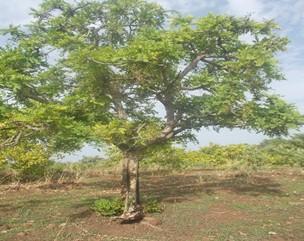 Etude sur la barteri dans une plantation d'anaca...